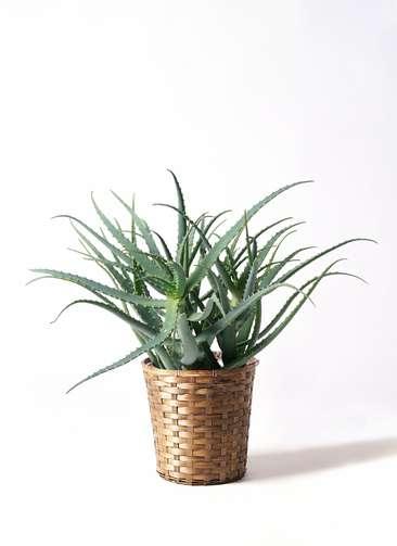 観葉植物 キダチアロエ 8号 8号竹バスケット 付き