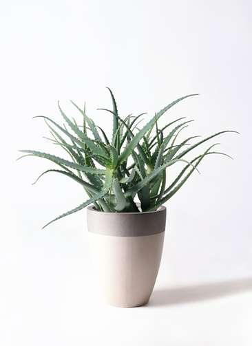 観葉植物 キダチアロエ 8号 8号ファイバーストーンカプリ サンディホワイト 付き