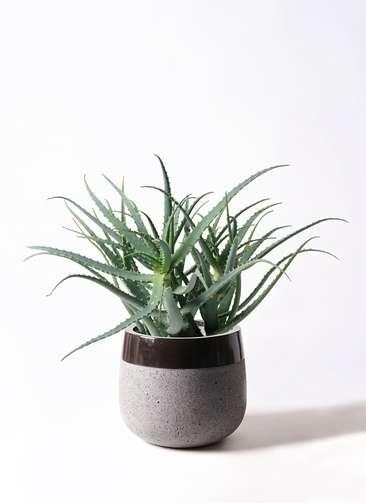 観葉植物 キダチアロエ 8号 8号ファイバーストーンタウルス 黒 付き