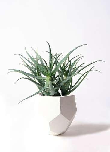 観葉植物 キダチアロエ 8号 8号ポリゴヘクサ 白 付き