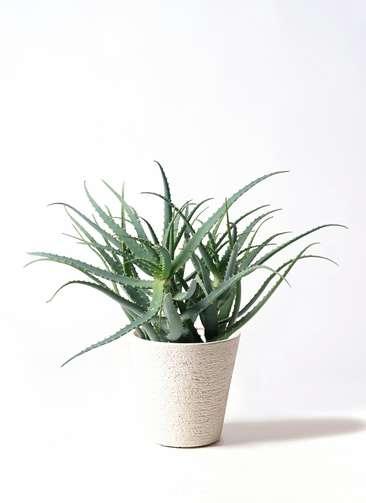 観葉植物 キダチアロエ 8号 8号ビアスソリッド 白 付き