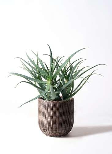 観葉植物 キダチアロエ 8号 8号ウィッカーポットエッグ 茶 付き