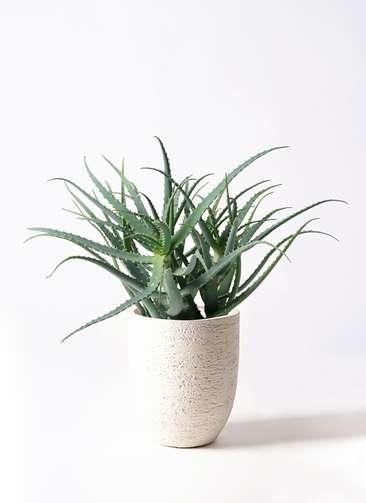 観葉植物 キダチアロエ 8号 8号ビアスアルトエッグ 白 付き