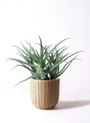 観葉植物 キダチアロエ 8号 8号ウィッカーポットエッグ ベージュ 付き