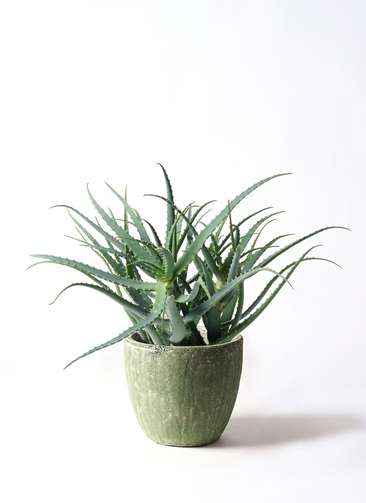 観葉植物 キダチアロエ 8号 8号アビスソニアミドル 緑 付き