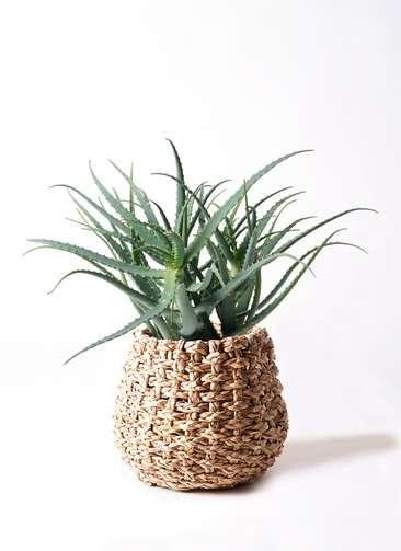 観葉植物 キダチアロエ 8号 8号ラッシュバスケット Natural 付き