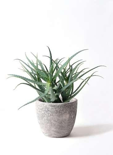 観葉植物 キダチアロエ 8号 8号アビスソニアミドル 灰 付き
