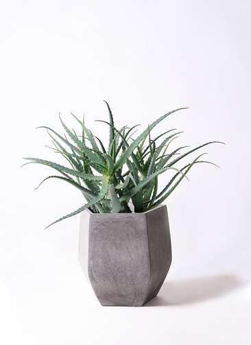 観葉植物 キダチアロエ 8号 8号ファイバークレイ Gray 付き