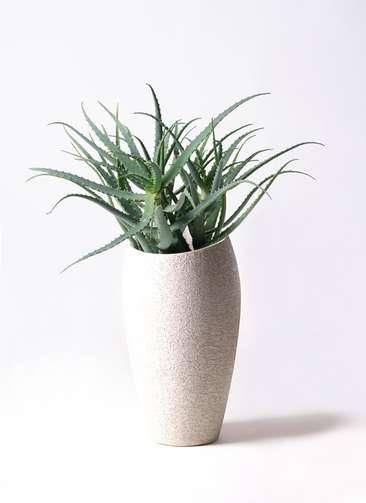 観葉植物 キダチアロエ 8号 8号エコストーントールタイプ Light Gray 付き