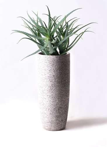 観葉植物 キダチアロエ 8号 8号エコストーントールタイプ Gray 付き