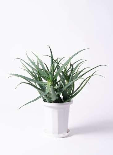 観葉植物 キダチアロエ 8号 8号プラスチック鉢