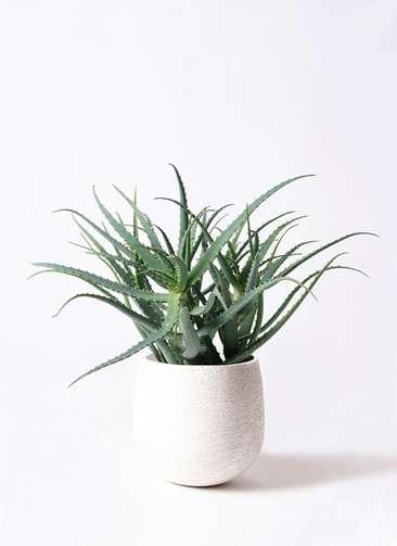 観葉植物 キダチアロエ 8号 8号エコストーンwhite 付き