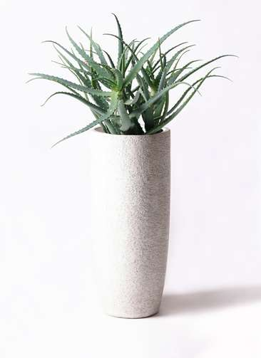 観葉植物 キダチアロエ 8号 8号エコストーントールタイプ white 付き