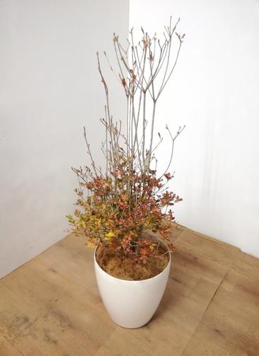 観葉植物 【112cm】ドウダンツツジ 8号 #23941 ラスターポット付き