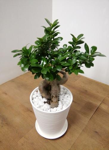 観葉植物 ガジュマル 【65cm】 ガジュマル 8号 #23940 ラスターポット付き