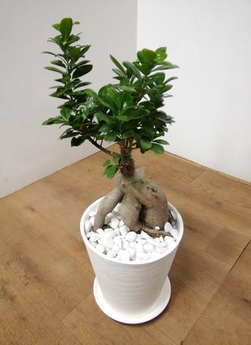 観葉植物 ガジュマル 【67cm】 ガジュマル 8号 #23939 ラスターポット付き