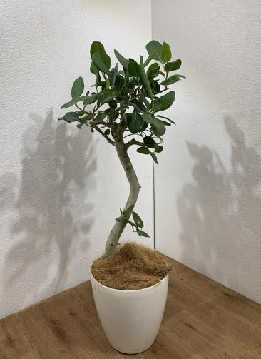 観葉植物 フィカス ベンガレンシス 【118cm】 フィカス ベンガレンシス 8号 #24701 ラスターポット付き