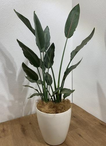 観葉植物 ストレリチア レギネ 【110cm】 ストレリチア レギネ 8号 #24710 ラスターポット付き