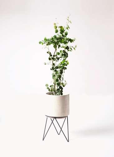 観葉植物 ユーカリ 8号 ポリアンセモス ビトロ エンデカ 鉢カバースタンド付 クリーム 付き
