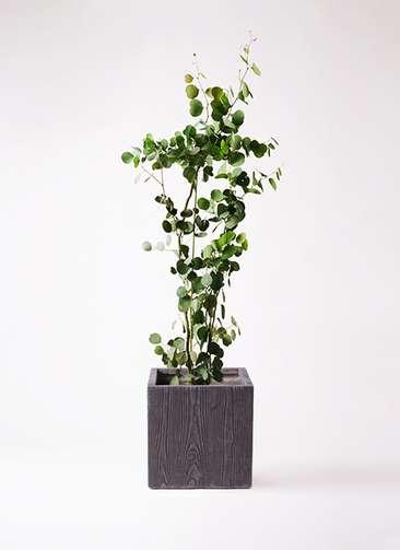 観葉植物 ユーカリ 8号 ポリアンセモス ベータ キューブプランター ウッド 茶 付き