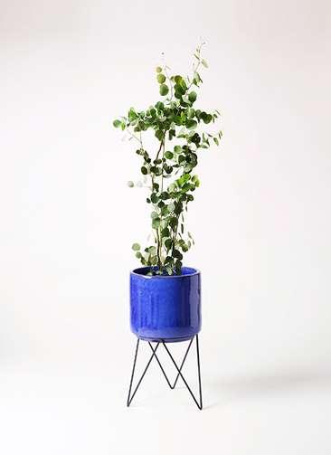 観葉植物 ユーカリ 8号 ポリアンセモス ビトロ エンデカ 鉢カバースタンド付 ブルー 付き