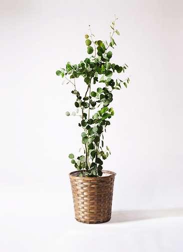 観葉植物 ユーカリ 8号 ポリアンセモス 竹バスケット 付き