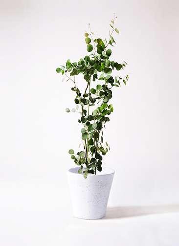 観葉植物 ユーカリ 8号 ポリアンセモス フォリオソリッド 白 付き