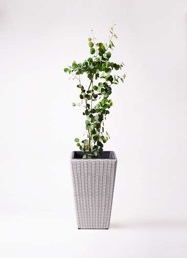 観葉植物 ユーカリ 8号 ポリアンセモス ウィッカーポット スクエアロング OT 白 付き