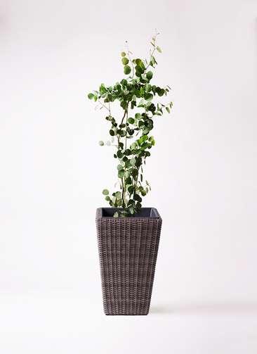 観葉植物 ユーカリ 8号 ポリアンセモス ウィッカーポット スクエアロング OT 茶 付き