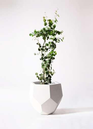 観葉植物 ユーカリ 8号 ポリアンセモス ポリゴヘクサ 白 付き