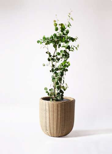 観葉植物 ユーカリ 8号 ポリアンセモス ウィッカーポットエッグ ベージュ 付き