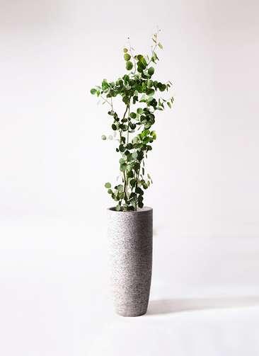 観葉植物 ユーカリ 8号 ポリアンセモス エコストーントールタイプ Gray 付き