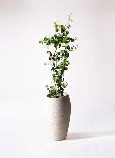 観葉植物 ユーカリ 8号 ポリアンセモス エコストーントールタイプ Light Gray 付き