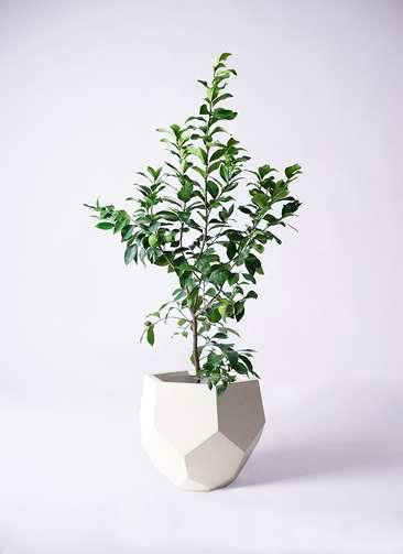 レモンの木 8号 リスボン ポリゴヘクサ 白 付き