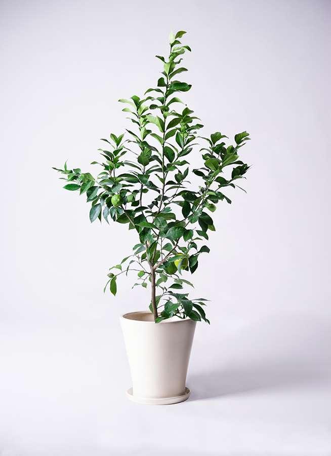 レモンの木 8号 リスボン サブリナ 白 付き