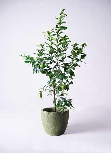 レモンの木 8号 リスボン アビスソニアミドル 緑 付き
