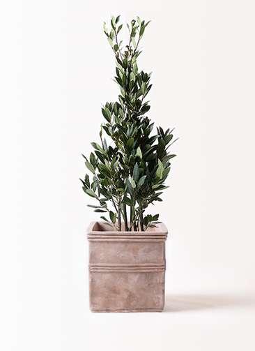 観葉植物 月桂樹 8号 テラアストラ カペラキュビ 赤茶色 付き