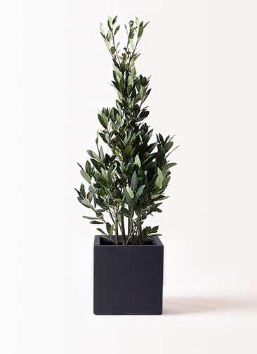 観葉植物 月桂樹 8号 ベータ キューブプランター 黒 付き
