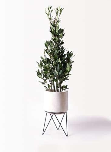 観葉植物 月桂樹 8号 ビトロ エンデカ 鉢カバースタンド付 クリーム 付き