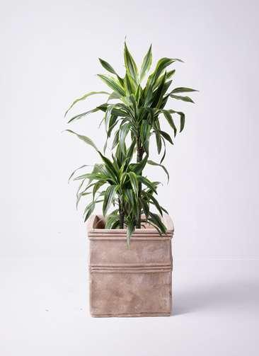 観葉植物 ドラセナ ワーネッキー レモンライム 8号 テラアストラ カペラキュビ 赤茶色 付き