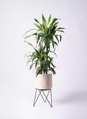 観葉植物 ドラセナ ワーネッキー レモンライム 8号 ビトロ エンデカ 鉢カバースタンド付 クリーム 付き