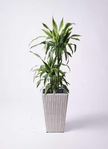 観葉植物 ドラセナ ワーネッキー レモンライム 8号 ウィッカーポット スクエアロング OT 白 付き