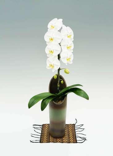 胡蝶蘭大輪 白 1本立ち 和鉢かぐや