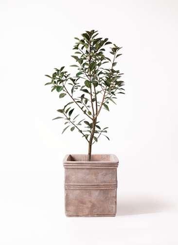 観葉植物 フランスゴムの木 8号 ノーマル テラアストラ カペラキュビ 赤茶色 付き