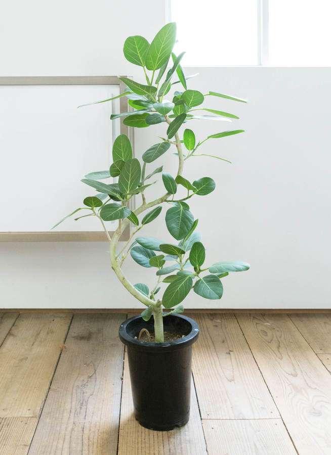 観葉植物 フィカス ベンガレンシス 8号 曲り プラスチック鉢
