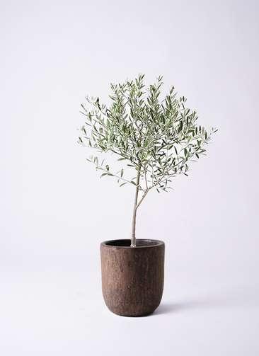 観葉植物 オリーブの木 6号 創樹 ビトロ ウーヌム コッパー釉 付き