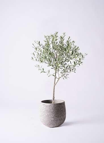観葉植物 オリーブの木 6号 創樹 エコストーンGray 付き
