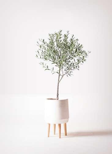 観葉植物 オリーブの木 6号 創樹 ファイバークレイ white 付き