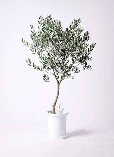 観葉植物 オリーブの木 8号 創樹 プラスチック鉢