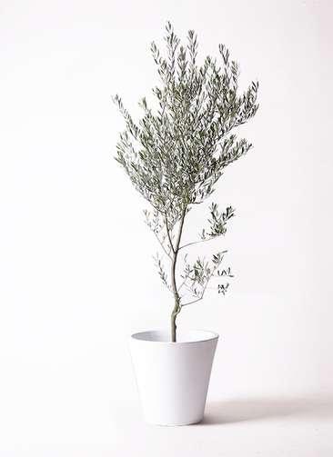 観葉植物 オリーブの木 10号 創樹 フォリオソリッド 白 付き